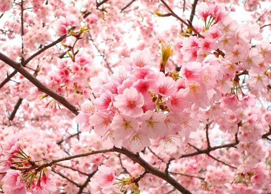 Hoa đào được xem là tinh hoa của ngũ hành